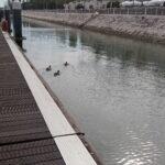Patos da Marina