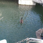 Pato da Marina